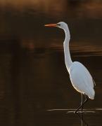Great Egret (Image ID 30683)
