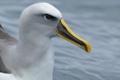 Buller's Albatross (Image ID 30535)