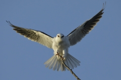 Black-shouldered Kite (Image ID 30812)