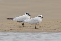 Australian Gull-billed Tern
