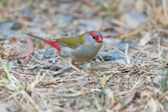 Red-browed Finch (Image ID 30911)