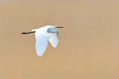 Little Egret (Image ID 30910)