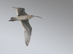 Eastern Curlew (Image ID 30990)