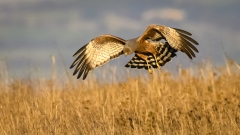 Spotted Harrier (Image ID 31116)
