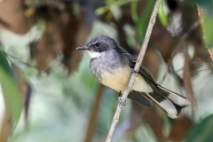 Northern Fantail (Image ID 31530)