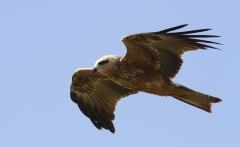 Black Kite (Image ID 31528)
