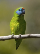 Double-eyed Fig-Parrot (Image ID 31570)