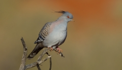 Crested Pigeon (Image ID 31540)
