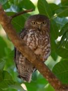 Barking Owl (Image ID 31535)