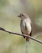 Mistletoebird (Image ID 31883)