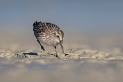 Broad-billed Sandpiper