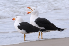 Pacific Gull (Image ID 31810)