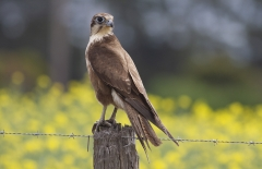 Brown Falcon (Image ID 31905)