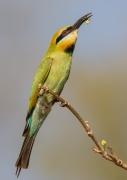 Rainbow Bee-eater (Image ID 31721)