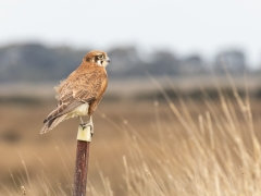 Brown Falcon (Image ID 31718)