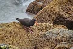 Sooty Oystercatcher