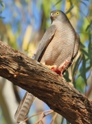 Collared Sparrowhawk (Image ID 31860)