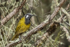 White-eared Honeyeater (Image ID 31906)