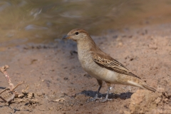 Brown Songlark (Image ID 31901)
