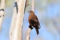 Black-tailed Treecreeper (Image ID 31765)