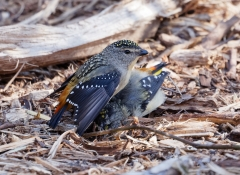 Spotted Pardalote (Image ID 31865)