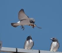 White-breasted Woodswallow (Image ID 31903)