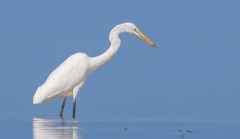 Great Egret (Image ID 31885)