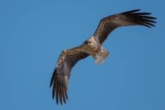 Whistling Kite (Image ID 32269)