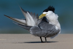 Crested Tern (Image ID 32270)