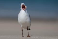 Silver Gull (Image ID 32271)