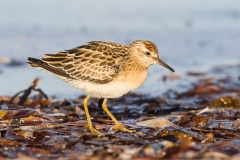 Sharp-tailed Sandpiper (Image ID 32190)