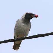 Black-faced Cuckoo-shrike (Image ID 32284)