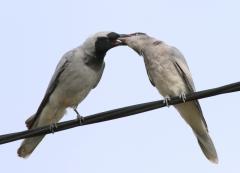 Black-faced Cuckoo-shrike (Image ID 32287)