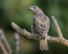 Australasian Figbird (Image ID 32268)