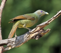 Satin Bowerbird (Image ID 32265)