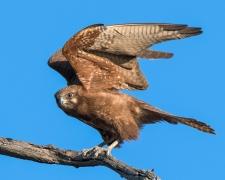 Brown Falcon (Image ID 32164)