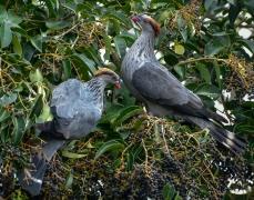 Topknot Pigeon (Image ID 32274)