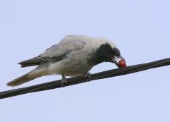 Black-faced Cuckoo-shrike (Image ID 32285)