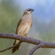 Plum-headed Finch (Image ID 32278)