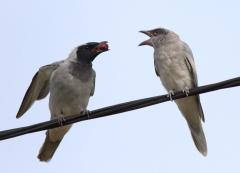 Black-faced Cuckoo-shrike (Image ID 32286)