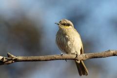 Singing Honeyeater