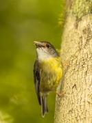 Pale-yellow Robin