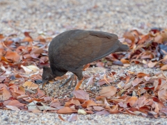 Orange-footed Scrubfowl