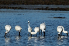 Little Egret, Royal Spoonbill
