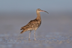 Whimbrel (Image ID 32836)