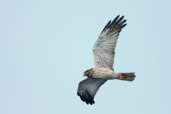 Swamp Harrier (Image ID 32481)