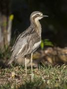 Bush Stone-curlew (Image ID 32474)