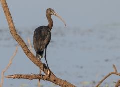 Glossy Ibis (Image ID 32519)