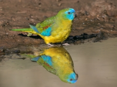 Turquoise Parrot (Image ID 33096)