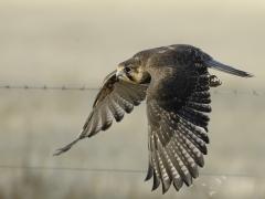 Brown Falcon (Image ID 33178)